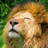 うとうとしているライオン