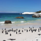 海へ入ろうとしているペンギンの群れ