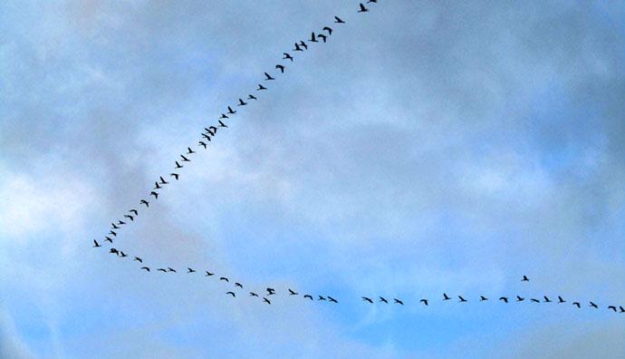 矢印のような渡り鳥のV字隊形